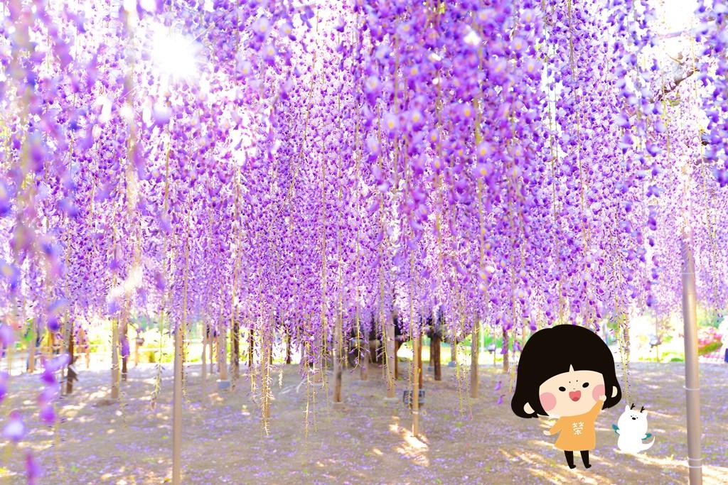 此生必訪 ▎足利花卉公園浪漫紫藤